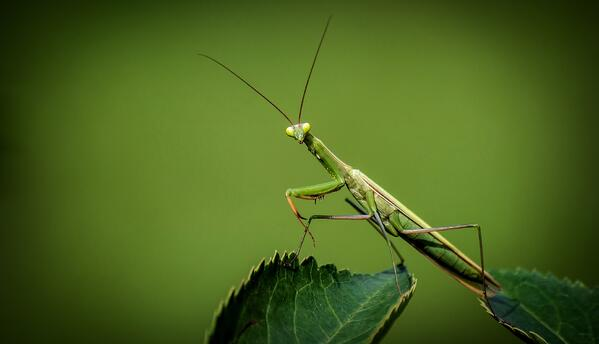 praying-mantis-3D-vision